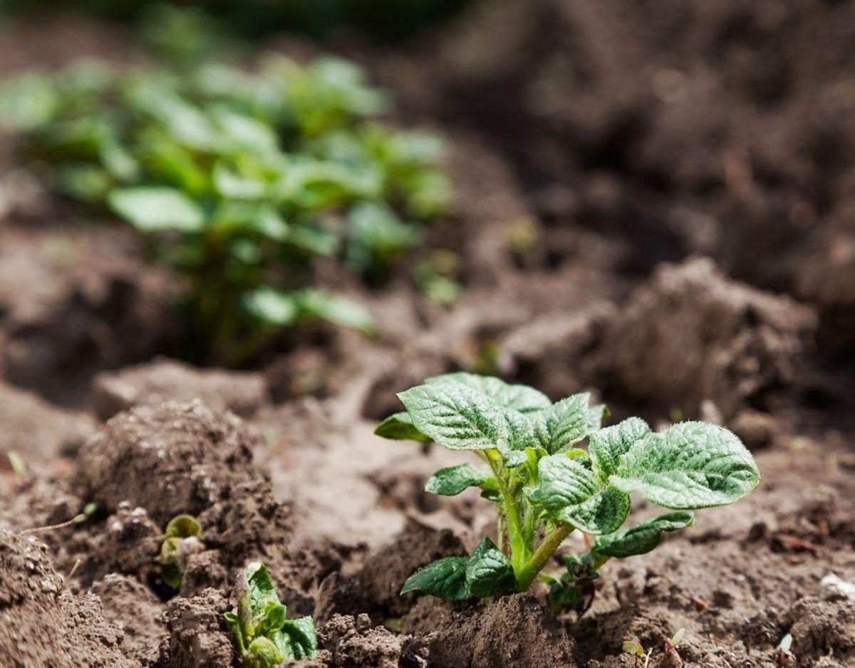 Kartofler: Kartofler er en god begnderplante. Den vokser hurtigt, og kræver ikke så meget pasning. Kartofler skal helst have næringsrig jord, og planterne har godt af, hvis jorden omkring planterne bliver vendt en gang imellem. Foto: Scanpix