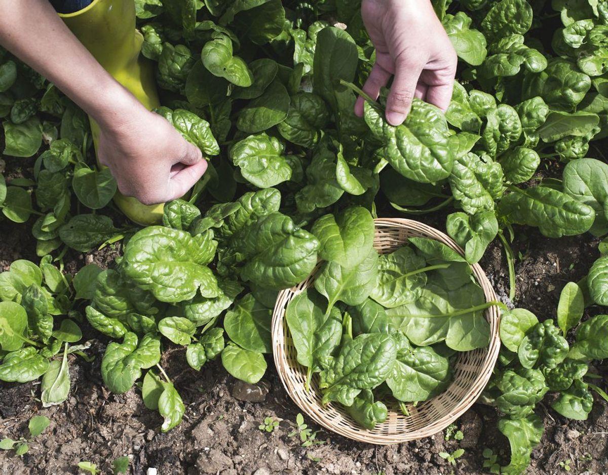 Spinat: Spinat vokser hurtigt, så man kan nå at så ad flere omgange, eller man kan nå at så en anden afgrøde på samme plads. Foto: Scanpix