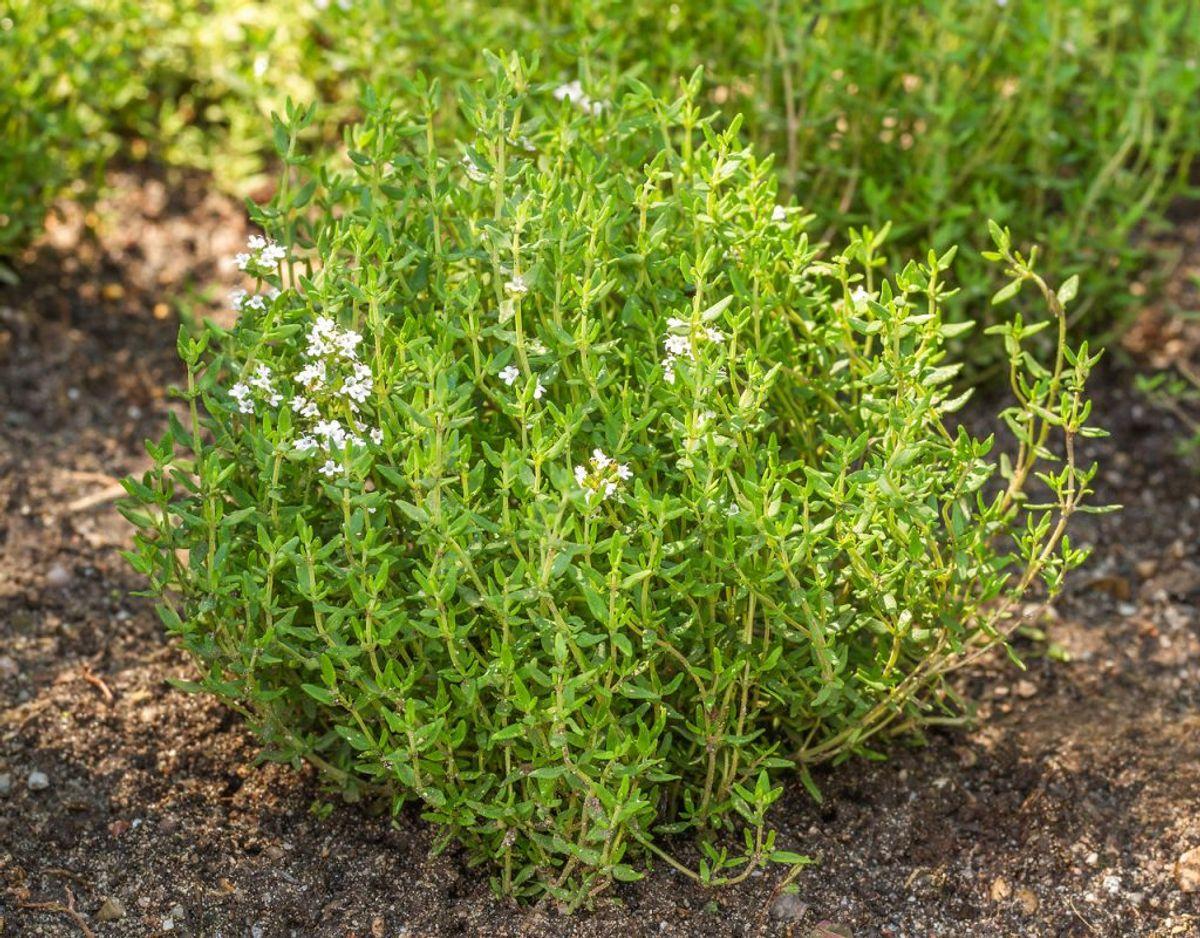 Timian: En anden særdeles hårdfør krydderurt er timian. Timian kan klare sig i haven hele året rundt. Foto: Scanpix