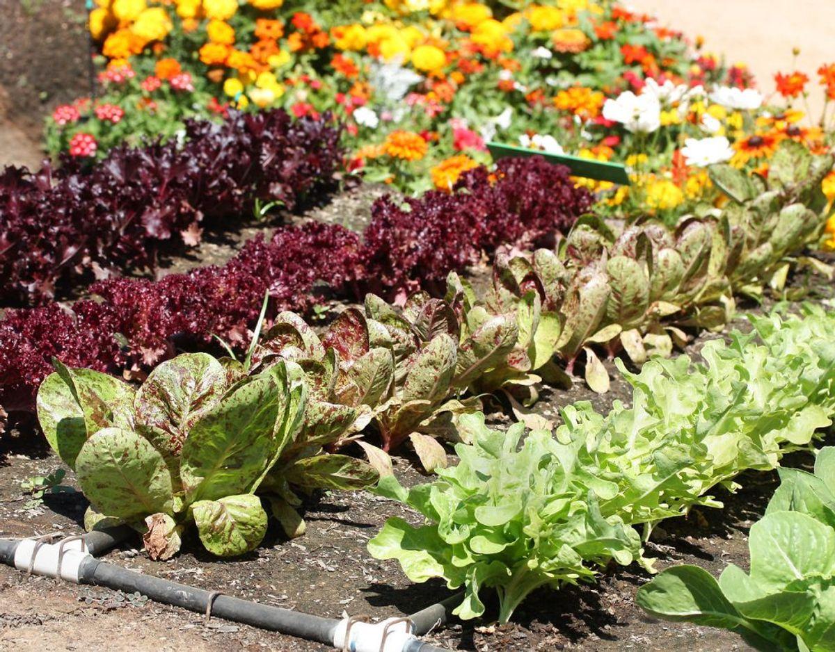 Salat: Der findes mange forskellige typer salater, og de fleste af dem er nemme at dyrke. Salat kan dog kræve vand, hvis jorden er ved at tørre ud. Foto: Scanpix