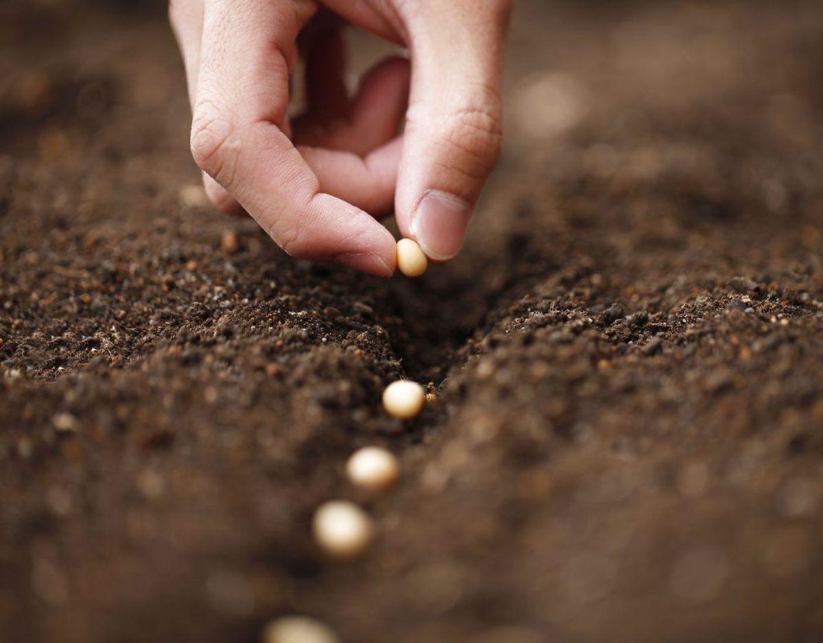 Bønner: Bønner vokser ligesom ærtepanter hurtigt, og kræver ikke nogen særlig pleje. Foto: Scanpix