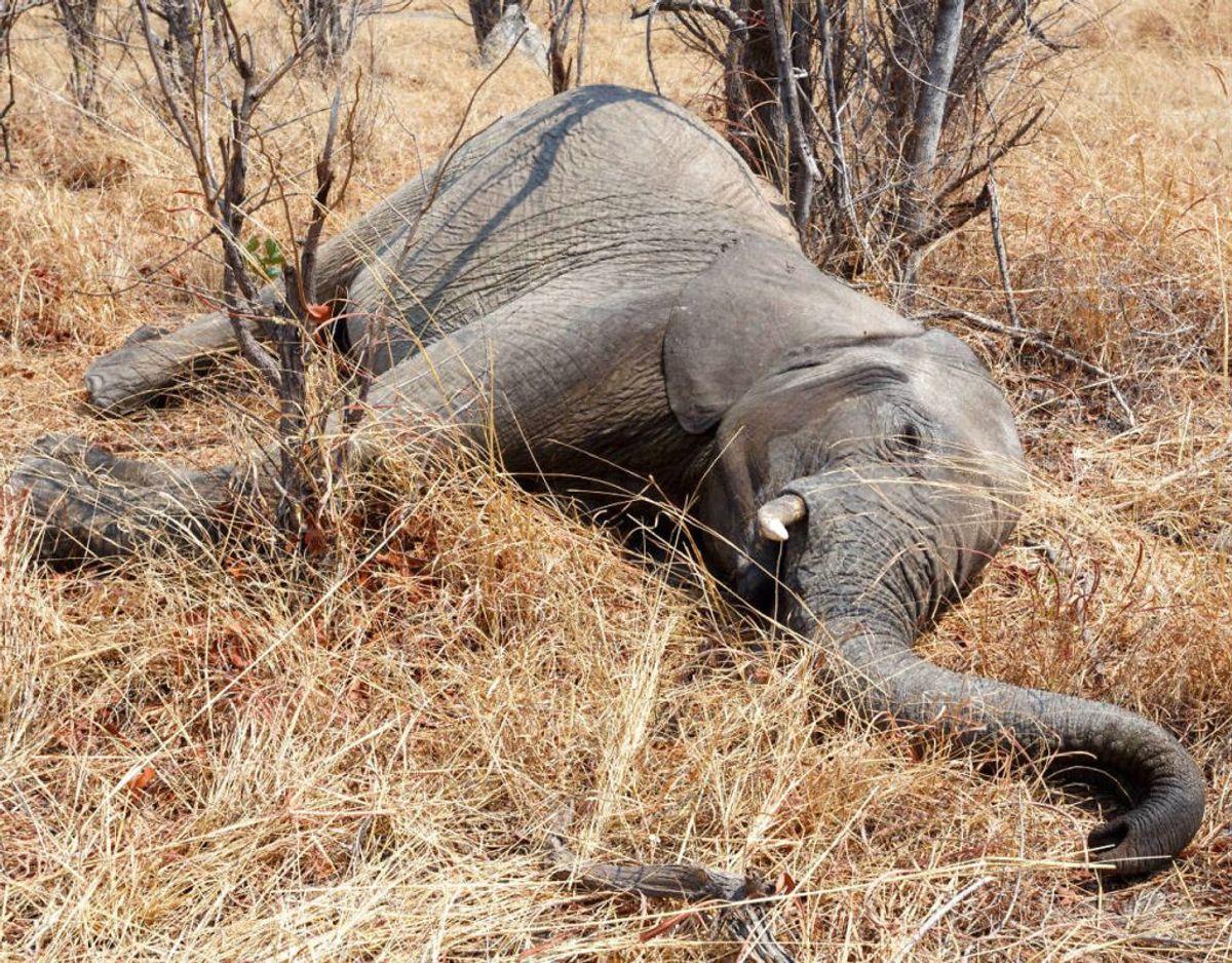 Siden starten af maj er der blevet observeret 350 døde elefanter i Okavango-deltaet i indlandsstaten Botswanna i det sydlige afrika. Man kender endnu ikke dødsårsagen – men man frygter den. Foto: Scanpix.
