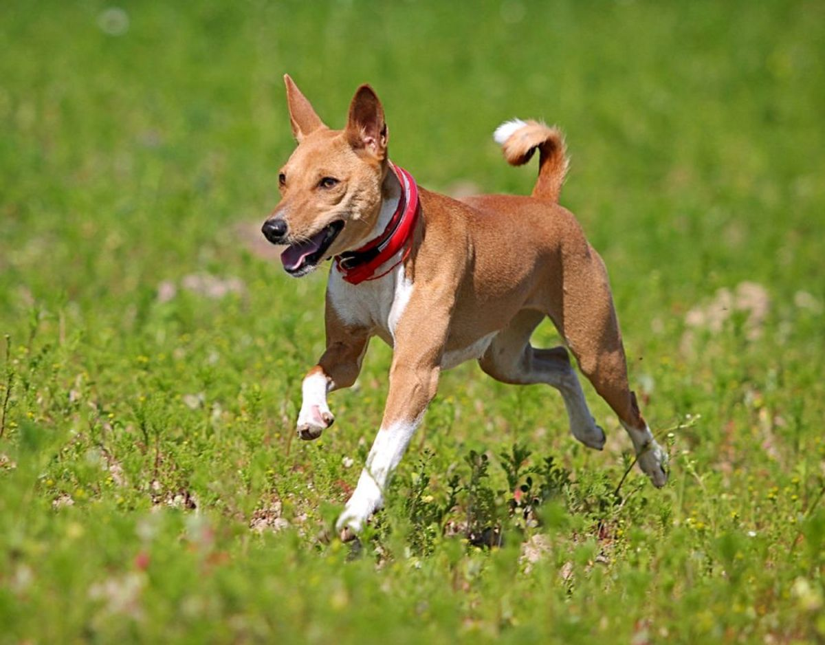 En basenji er en livlig hund, der betragtes som værende en af de sundeste racer. Den er også kendt for ikke at gø ret meget. Foto: Scanpix