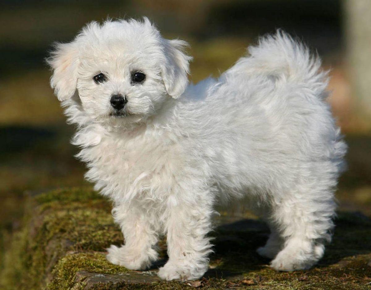 Bichon Frise er en hunderace, der er god til allergiramte familier. Den lille hunderace elsker at få nye venner. Foto: Scanpix