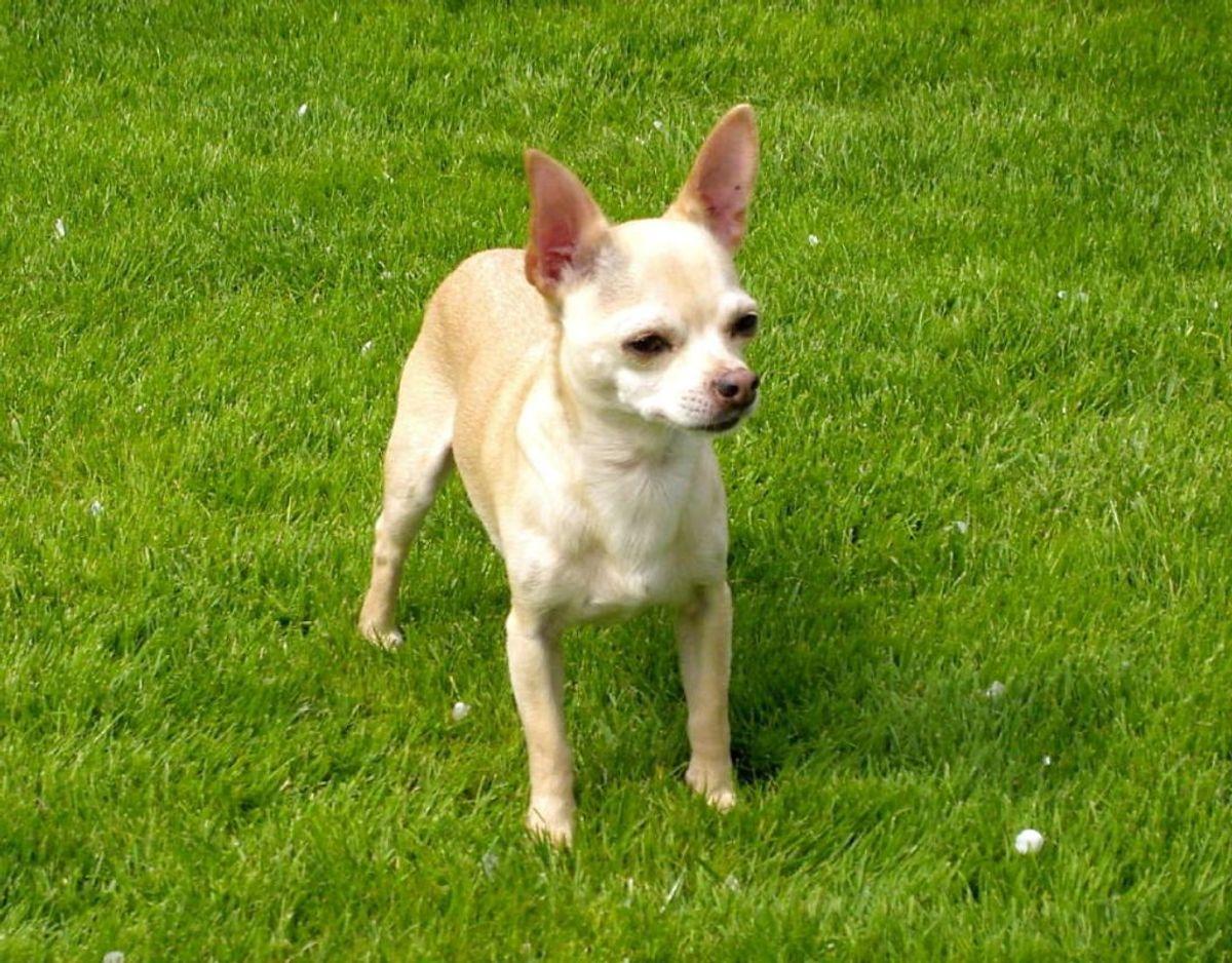 En chihuahua er også en hund, du kan have længe. Racen lever op til 18 år. Foto: Scanpix