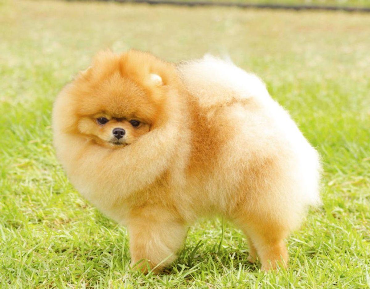 En pomeraner er også en sund hunderace. Den er noget af en nuttet pelsbold. Foto: Scanpix