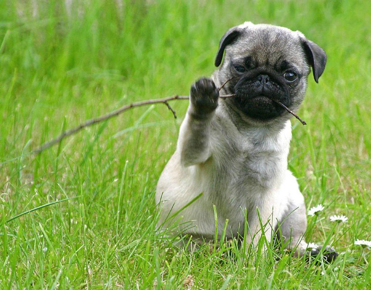 Med den helt rigtige kost kan hunderacen mops leve op til 15 år. Den elsker selskab. Foto: Scanpix