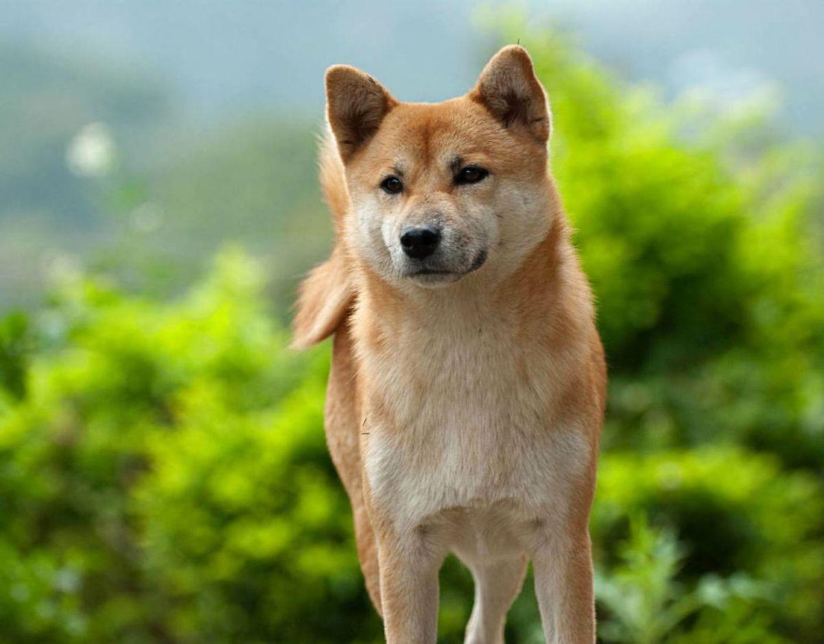 Hunderacen Shiba er kendt for sit ræve-lignende udseende, og er altså også en af de sundeste hunderacer. Foto: Scanppix