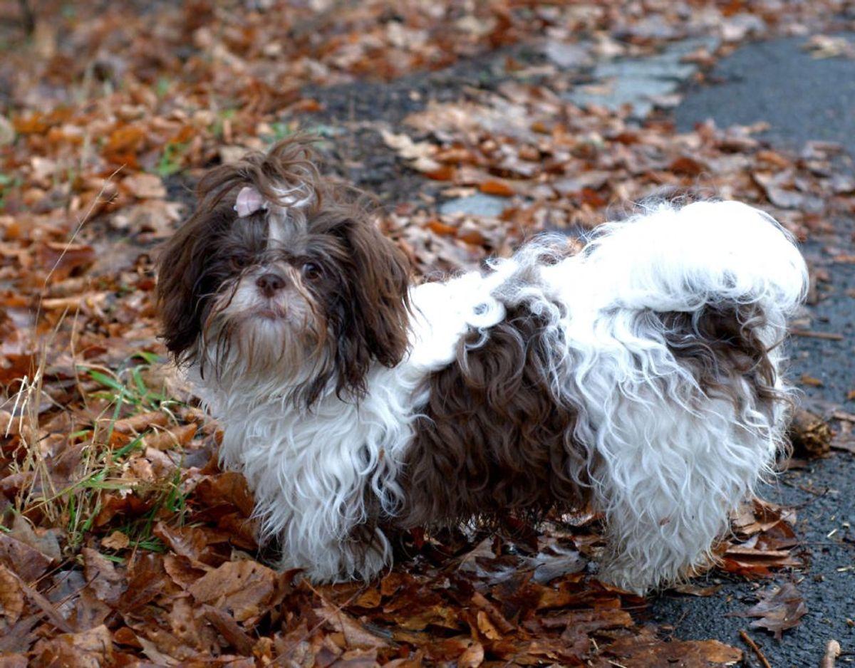 Den lille humørbombe, som en Shih Szu er, lever faktisk i gennemsnit 18 år. Den er særligt kendt for at være en børnevenlig hund. Foto: Scanpix