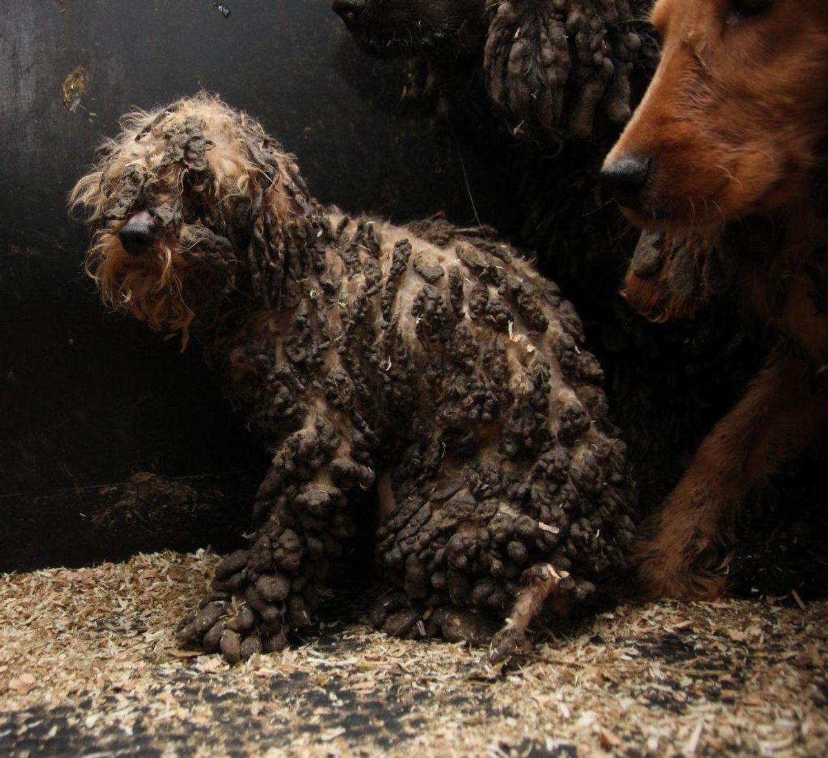 Sådan så en af de mange vanrøgtede hunde ud. Klik videre i galleriet for at se flere grufulde eksempler på det, der blev fundet. Foto: Dyrenes Beskyttelse.