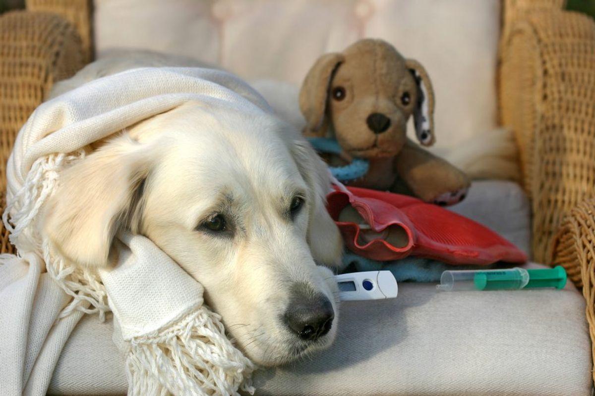 En potentielt dødelig hundesygdom har et dansk hotspot. KLIK VIDERE OG SE, HVILKE HUNDERACER DER ER DE SUNDESTE, OG SOM DET DERFOR MÅ ANTAGES ER MEST MODSTANDSDYGTIGE OVERFOR SYGDOMMEN. Foto: Scanpix.