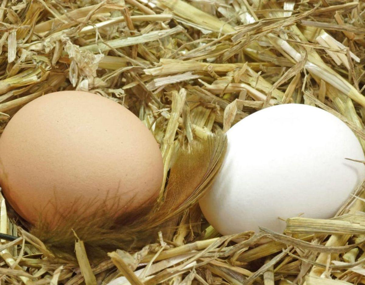 Hvide æg er sundere end brune: Det betyder ikke noget, hvilken farve æggeskallen har. Æggets farve afhænger af kyllingen. Hvide kyllinger giver generelt hvide æg og farvede kyllinger giver brune æg. Kilde: Expressen/Mit Kök. Klik videre for flere oplysninger. Foto: Scanpix.