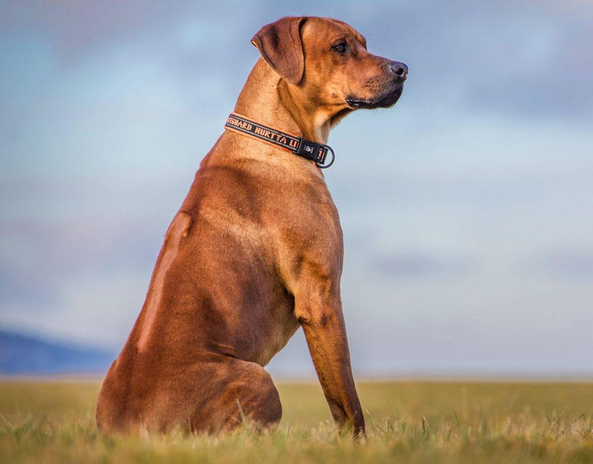 Mikkel Stelvig fortæller, at særligt løsgående hunde i Danmark bør være noget, vi er opmærksomme på. Men vi bør ikke i vores hverdag være bange for dem. Præcist som med ulve. Foto: Scanpix.