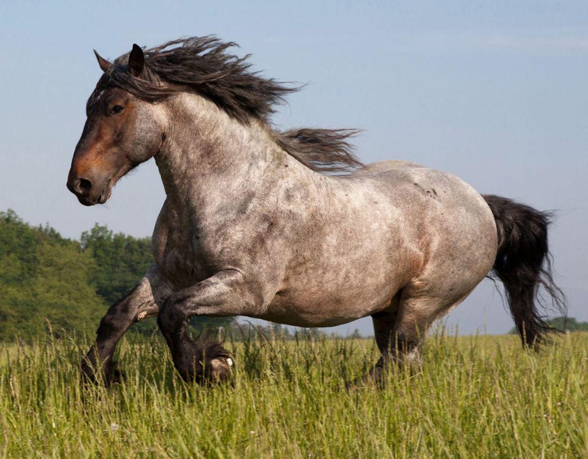 Hvis du ikke ved, hvordan du skal opføre dig i nærheden af en hest, kan dyret være farlig for dig. Men vi bør ikke i vores hverdag være bange for dem. Præcist som med ulve. Foto: Scanpix.