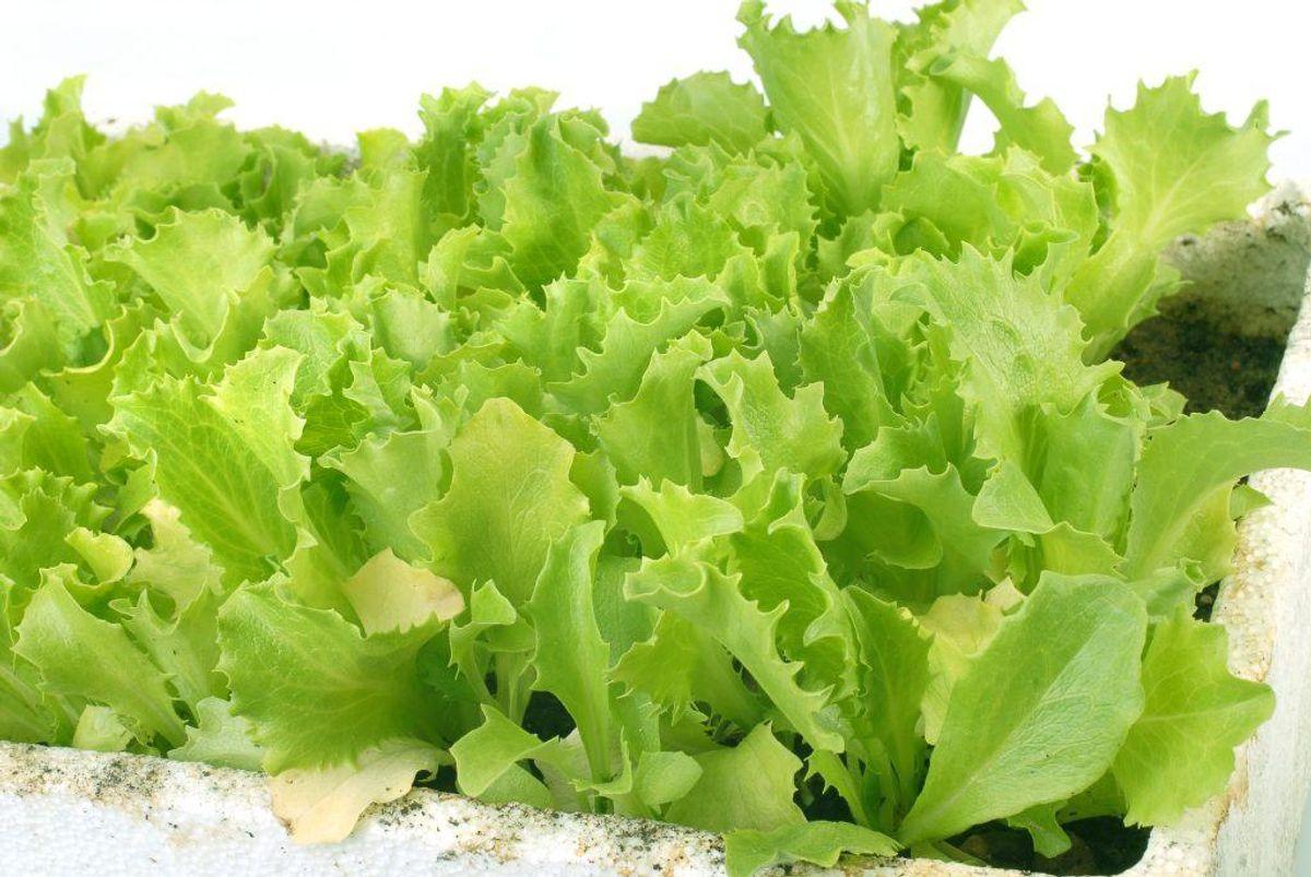 Salat er også blandt de kendte smittekilder.