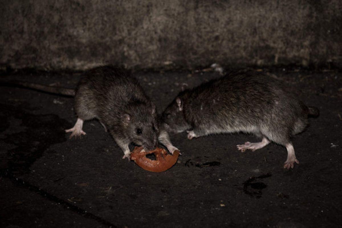 Det er lovpligtigt at melde det til kommunen, hvis du ser en rotte på din vej. (Arkivfoto) Foto: Philippe Lopez/AFP KLIK for mere.