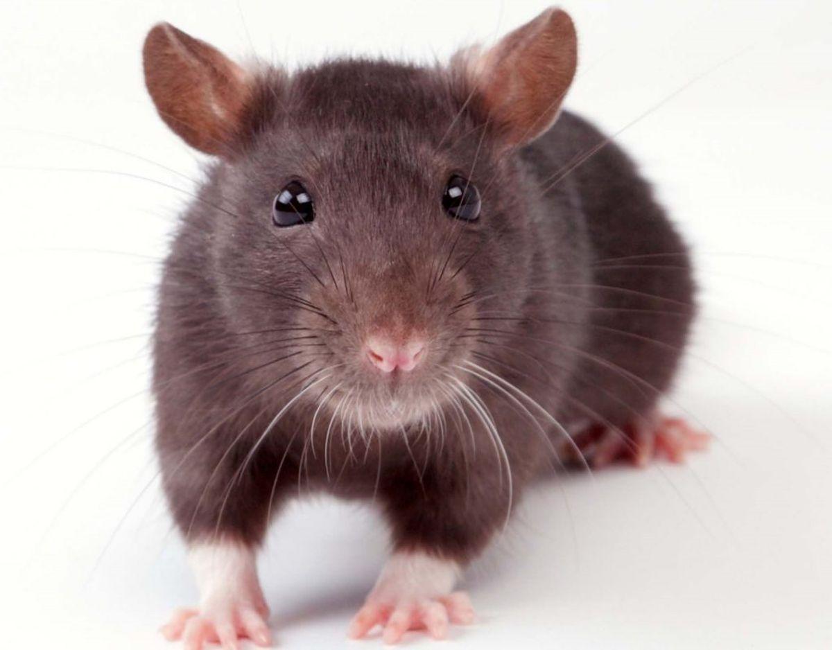 – Du skal passe på, når du omgås de ting, som rotterne har været i. Rotter bærer på flere sygdomme, som smitter gennem deres urin. Genrefoto.