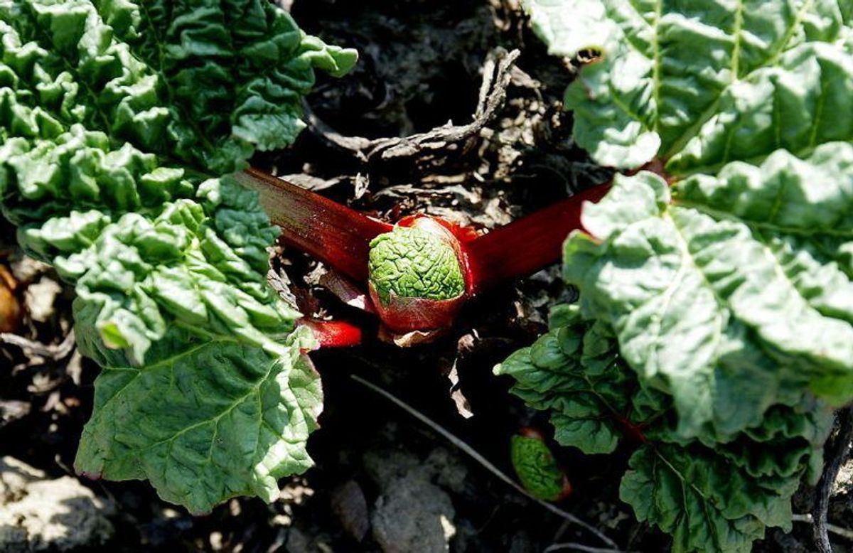 Hvis du spiser rabarber, så kan din urin pludselig blive rødlig. Foto: Scanpix