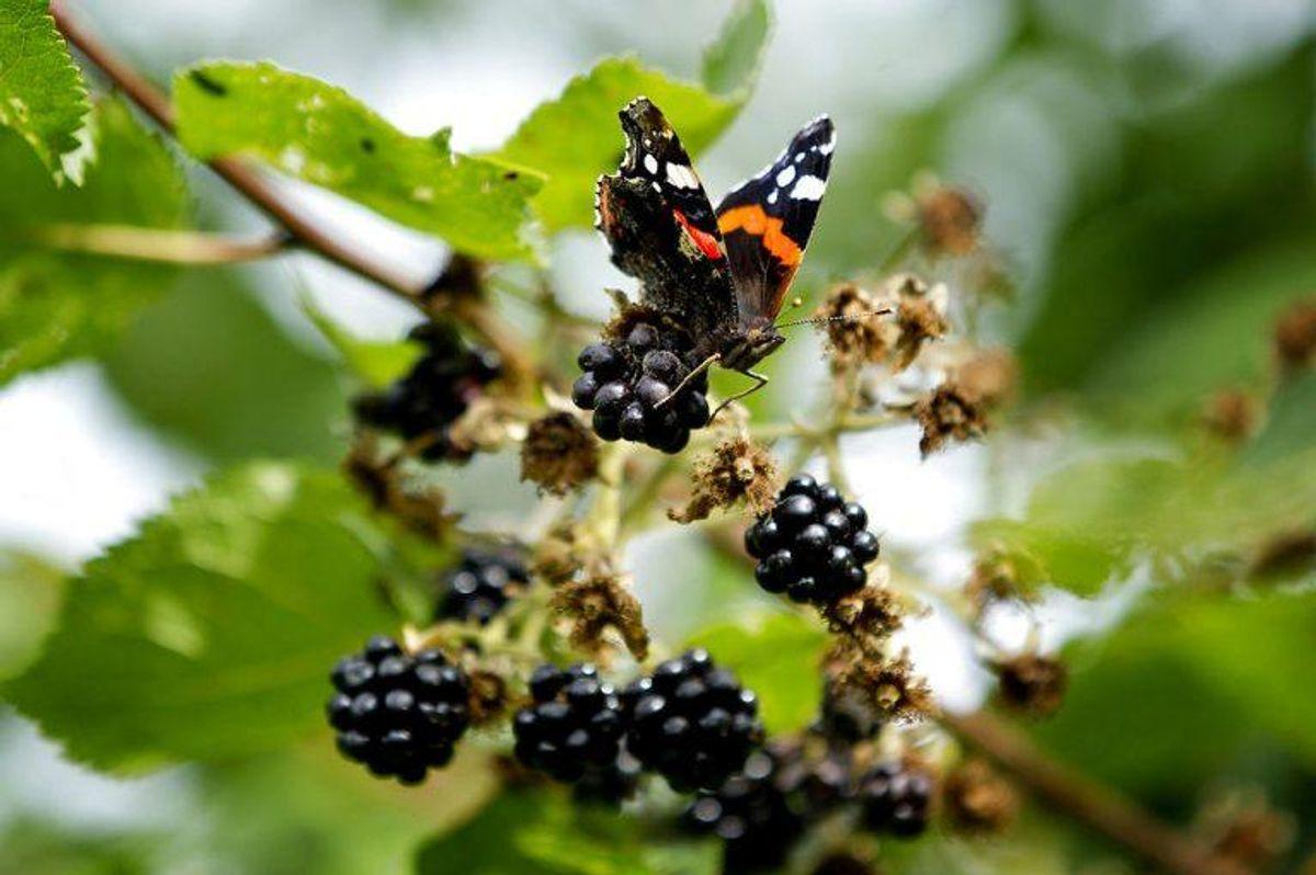 Brombær kan gøre din urin rødlig. Foto: Scanpix