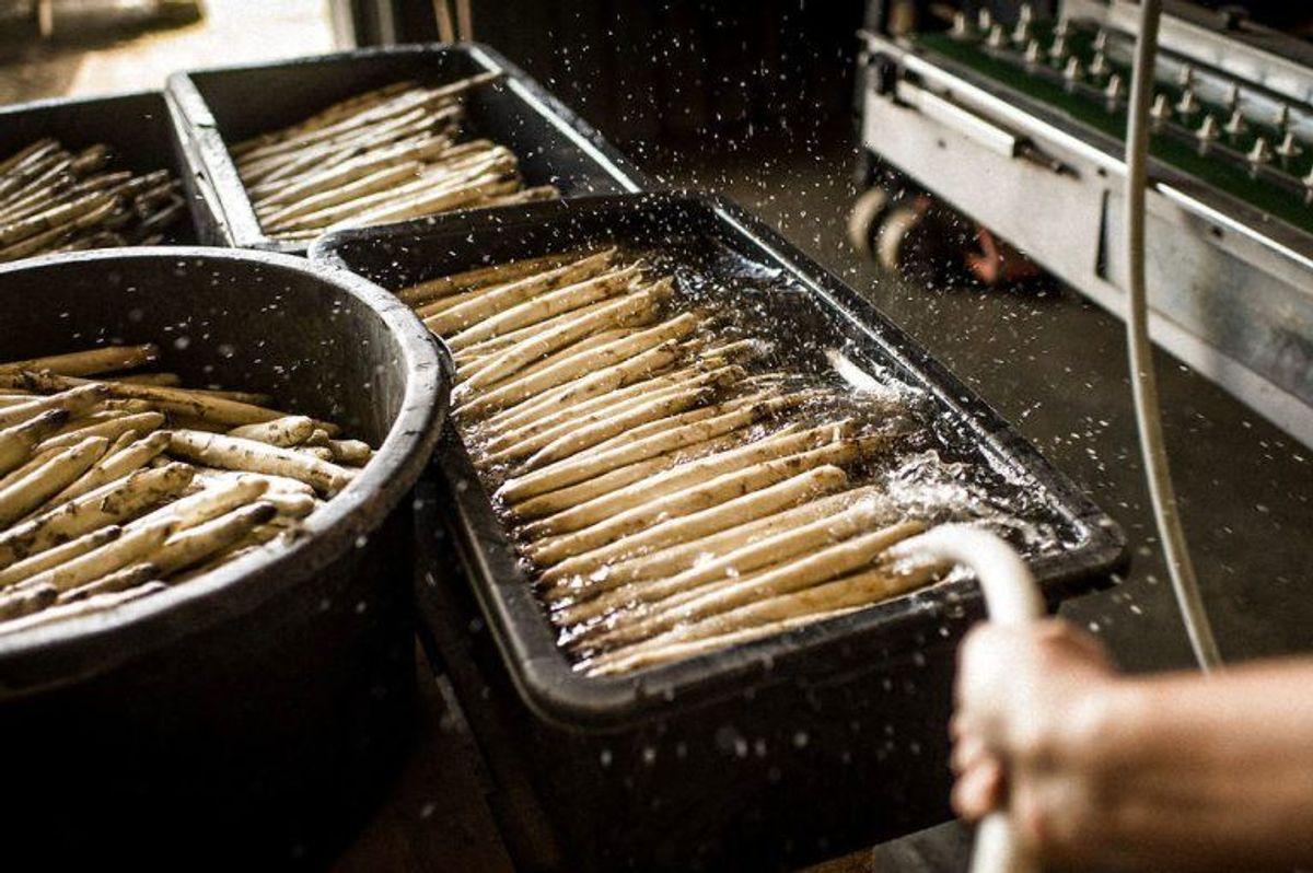 Hvis du spiser asparges enten hvide eller grønne, så kan din urin også blive ildelugtende. Foto: Scanpix