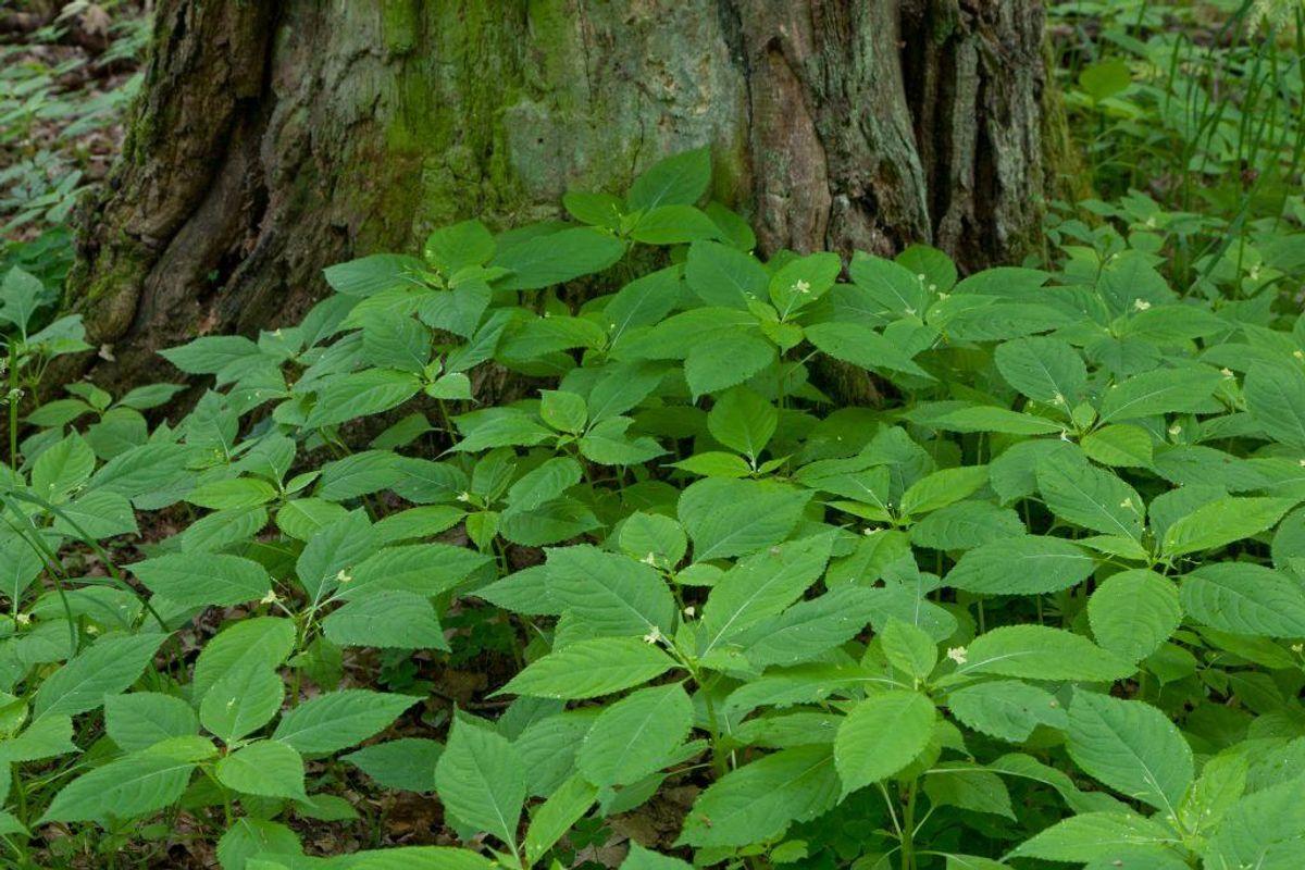 Småblomstret balsamin. (Foto: Shutterstock)