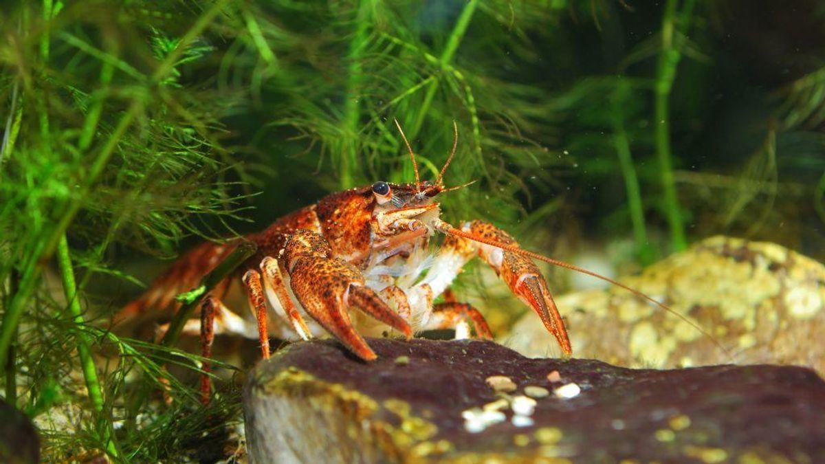 Også et par dyr var på listen: Her galizisk sumpkrebs (tyrkerkrebs). (Foto: Shutterstock)