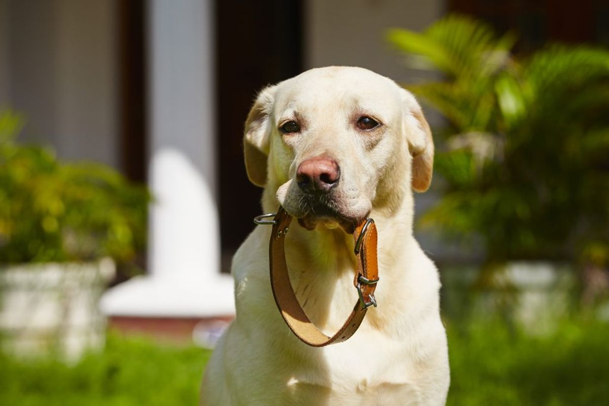 Du kan få hundens halsbånd til at se ud som ny.