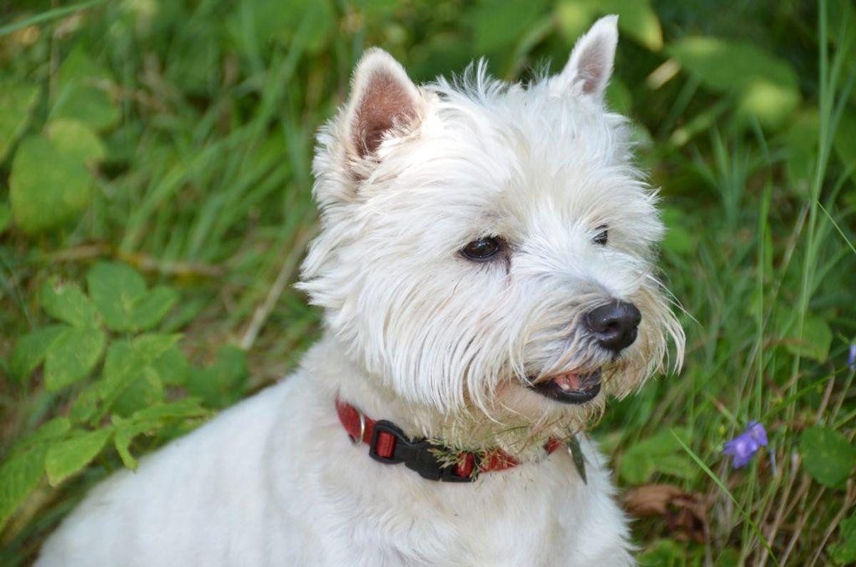 West highland white terrier. Kilde: Videnomdyr. Arkivfoto.