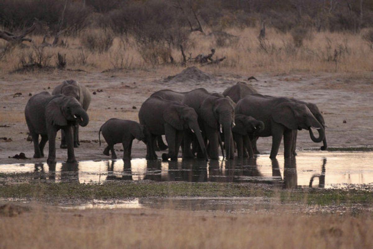 Mange elefanter er fundet døde i nærheden af udtørrende vandhuller i Zimbabwes største nationalpark. Her ses en gruppe elefanter i Hwange National Park i august 2015. Foto: Philimon Bulawayo/Reuters