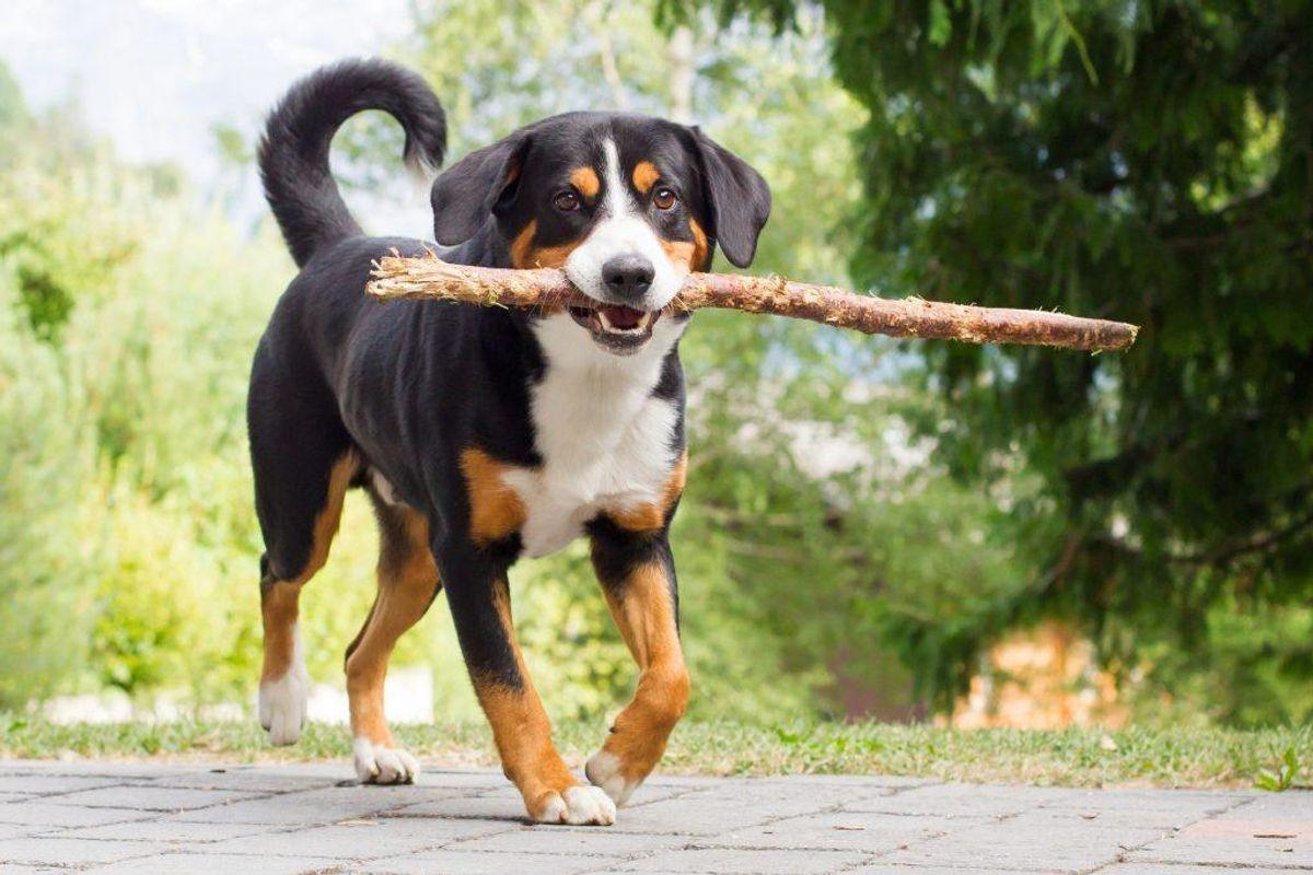 Appenzeller Sennenhund. Kilde: American Kennel Club. Arkivfoto.