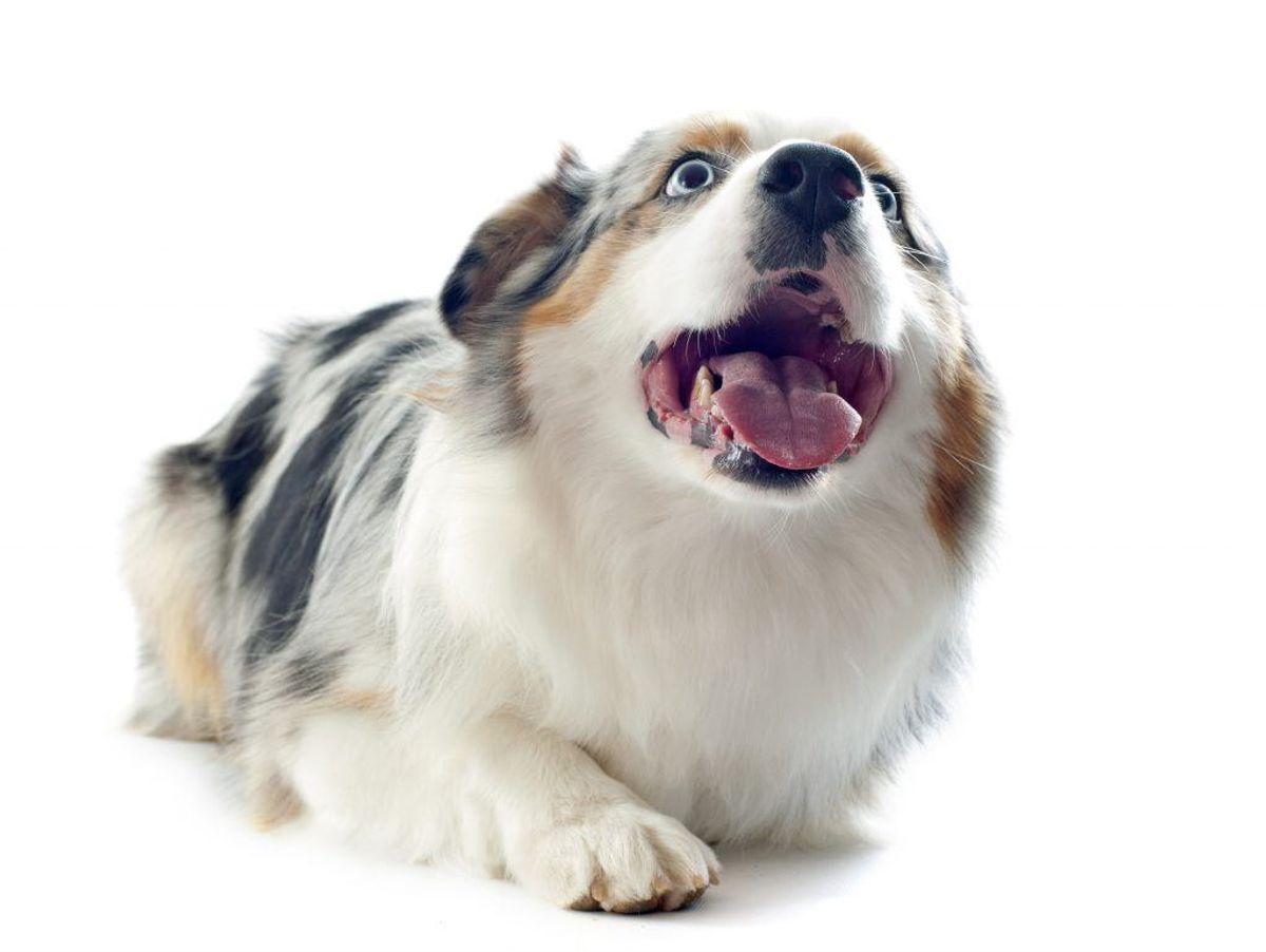 Australsk hyrdehund. Kilde: American Kennel Club. Arkivfoto.