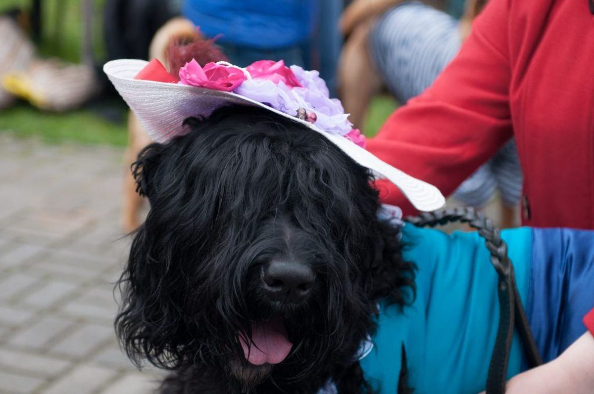 Sort Russisk Terrier. Kilde: American Kennel Club. Arkivfoto.