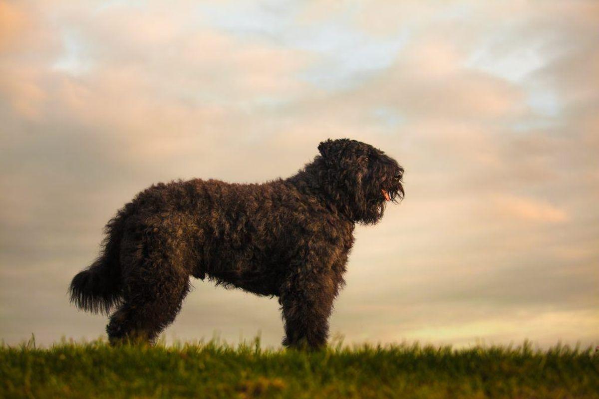 Boivier. Kilde: American Kennel Club. Arkivfoto.