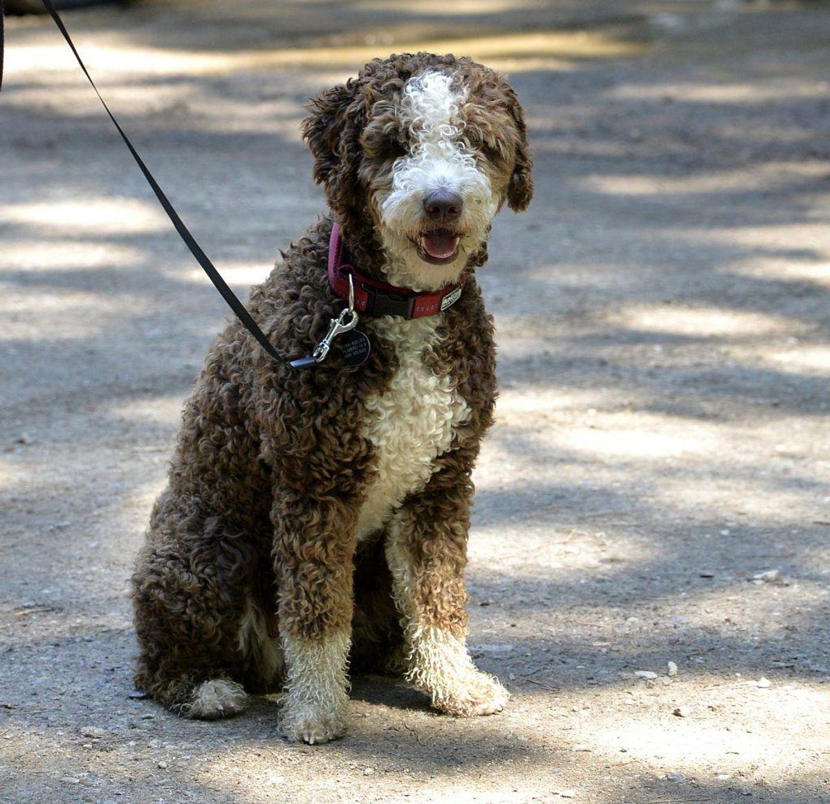 Spansk vandhund. Irish Soft-Coated Wheaten Terrier