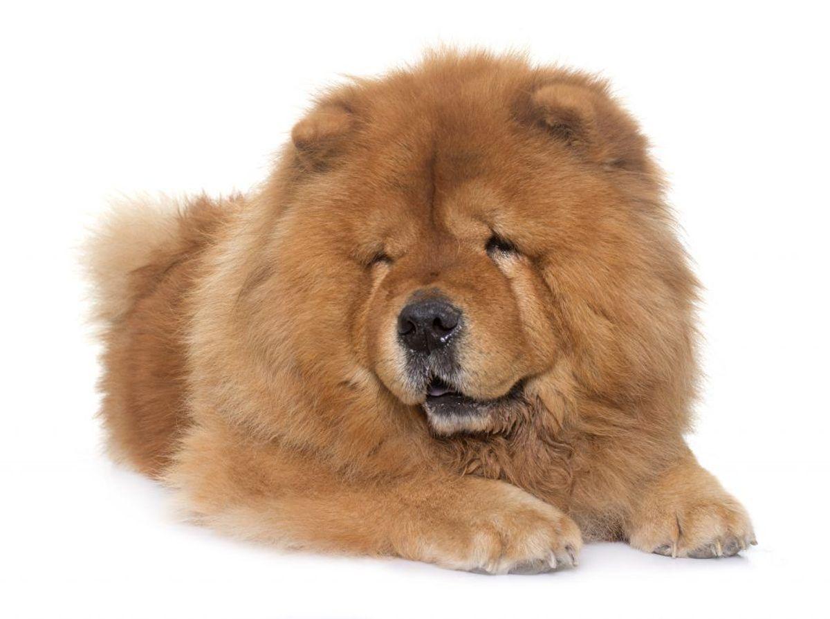 Tibetansk Mastiff. Kilde: American Kennel Club. Arkivfoto.