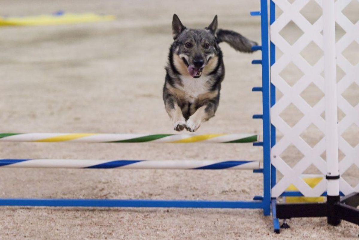 En svensk vallhund er aktiv og klog. Den kræver noget af ejeren, men den skulle til gengæld være let at træne. Foto: SheltieBoy/Wikimedia Commons KLIK for at se flere hunde