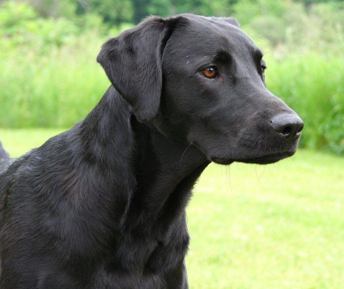 En labrador retriever er en frygtelig vagthund, til gengæld kan du meget let lære den mange andre ting. Foto: Peter Wadsworth/Wikimedia Commons