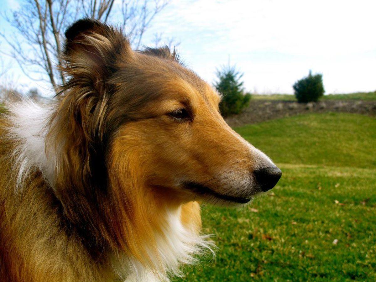 En Shetland Sheepdog ligner måske den kendte hund Lassie. Men hunden er nu sin egen. Den har det bedst hos familier, der er meget aktive. Til gengæld får man en klog og aktiv hund. Foto: Lehmand97/Wikimedia Commons
