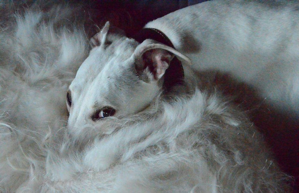 Der er stor forskel på, hvor meget de forskellige hunderacer fælder. KLIK VIDERE OG SE, HVILKE HUNDERACER DER FÆLDER MINDST. Arkivfoto.