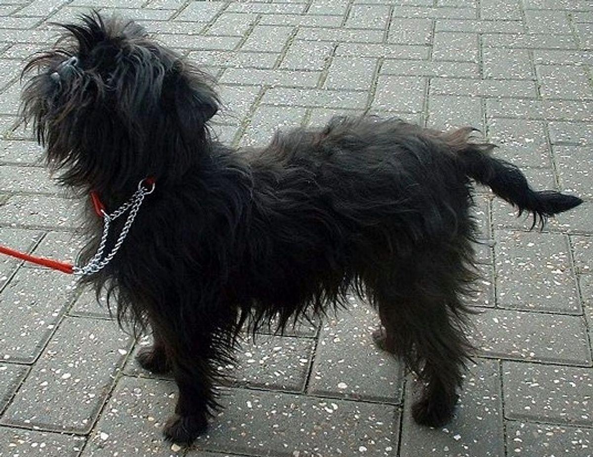 Affenpinscher. Kilde: American Kennel Society/Reader's Digest. Foto: Wikimedia Commons.