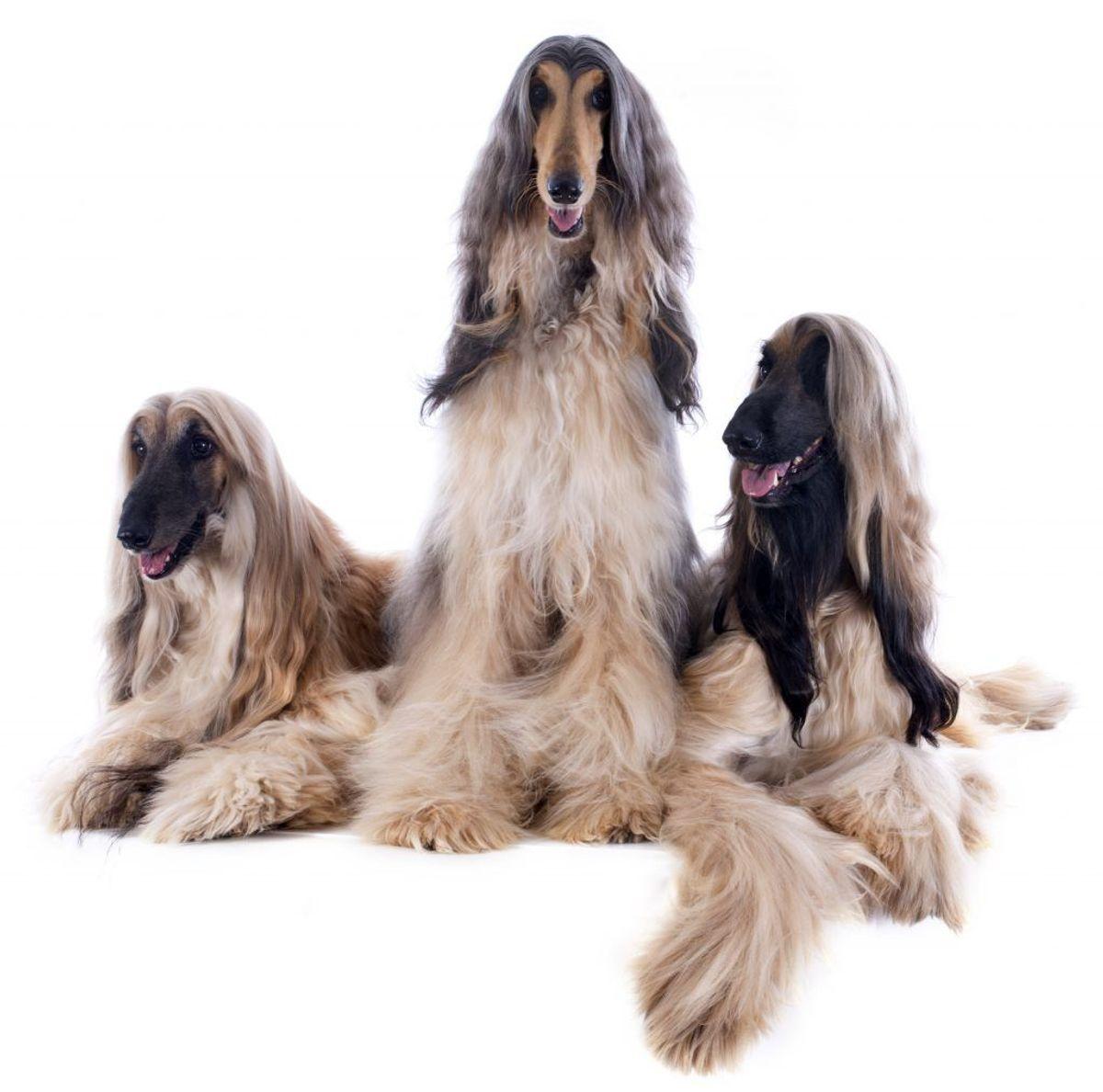 Afghansk mynde. Kilde: American Kennel Society/Reader's Digest. Arkivfoto.