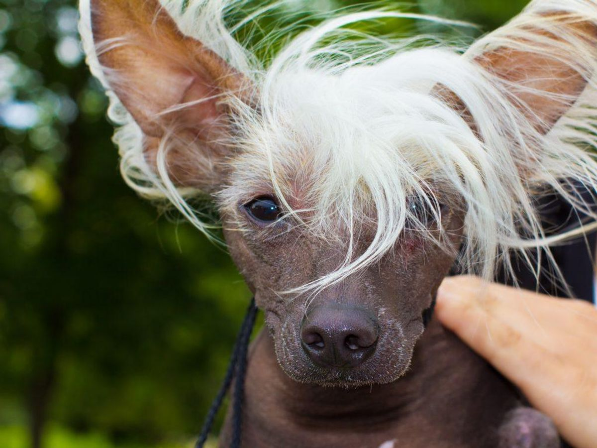 Chinese Crested. Kilde: American Kennel Society/Reader's Digest. Arkivfoto.