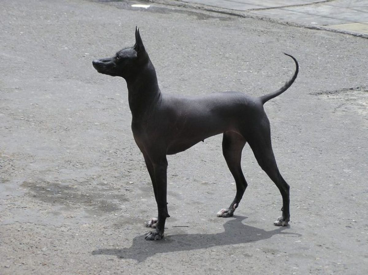 Peruviansk inkahund. Kilde: American Kennel Society/Reader's Digest. Foto: Wikimedia Commons.