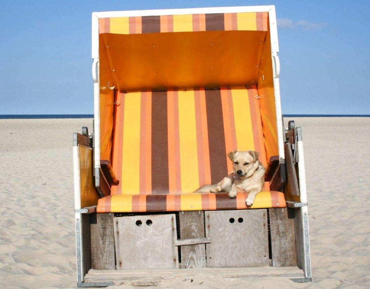 Hvis dit kæledyr bruger tid i solen under hedebølgen, så læg mærke til om kæledyret har noget bart hud eller meget tynd pels, som skal smøres med solcreme. Foto: Scanpix