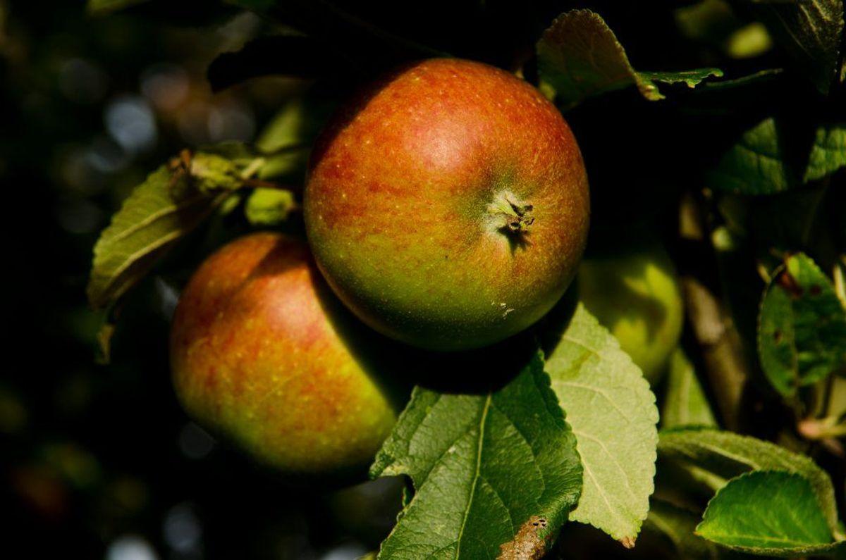 Æbler. Kilde: Videnskab.dk. Arkivfoto.