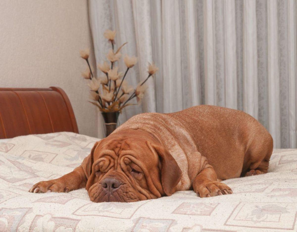 En ny amerikansk undersøgelse viser, at kvinders søvnkvalitet forbedres, hvis de deler seng med en hund. Klik videre for flere billeder. Foto: Scanpix