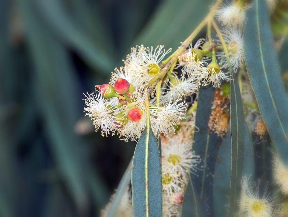 Duften af eukalyptus bryder edderkopper sig ikke om – så ligesom med pebermynteolie – kan du prøve at sprøjte lidt olie med duft af eukalyptus på forskellige overflader i huset.