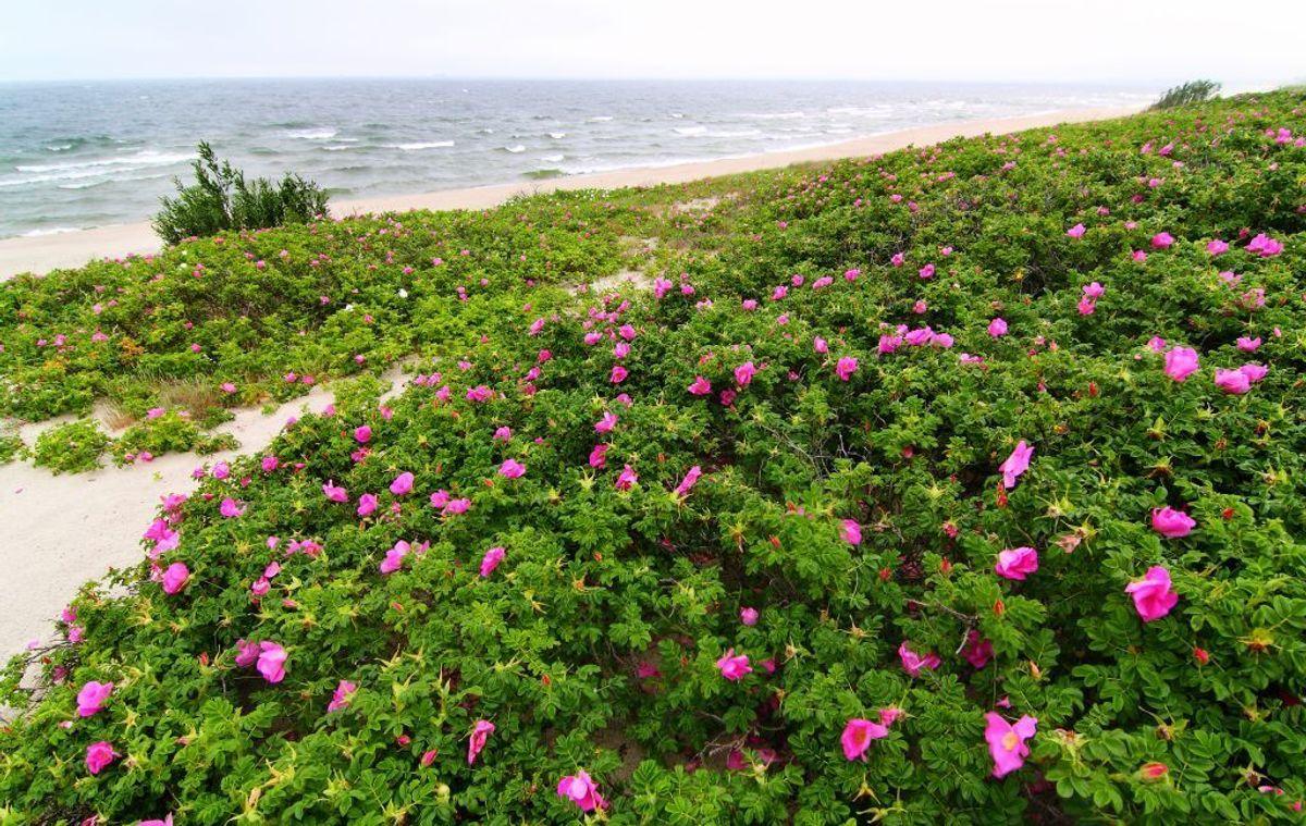 Rynket rose/hybenrose. (Foto: Shutterstock)