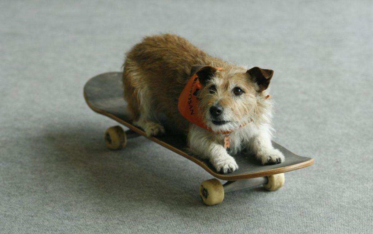 Jack Russel Terrier. Forventet levetid: 14 år. Kilde: Danske Dyreinternater. Foto: Scanpix.