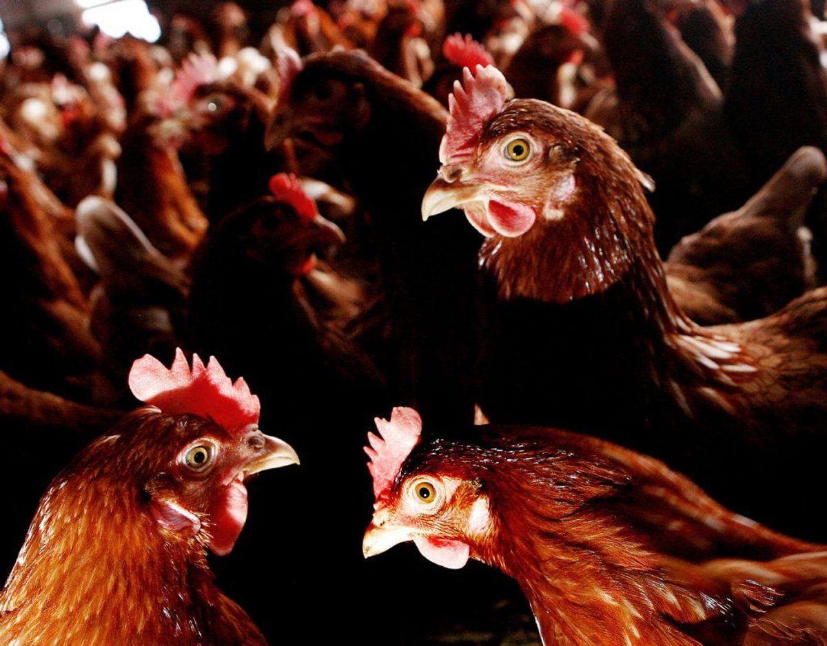 3000 hønsk gik tilsyneladende til angreb på ræven, der var lusket ind i hønsegården. Foto: Scanpix.
